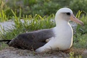 世界上最老的海鸟,66岁依然尽职孵蛋