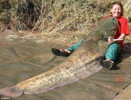 世界上最大的鲶鱼,长2.46米/重226斤