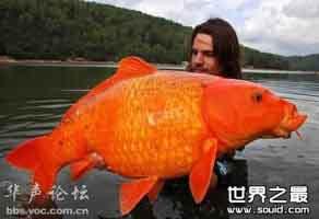 世界上最大的金鱼