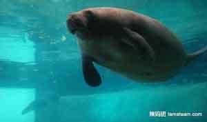 世界上寿命最长的海牛,目前寿命达67岁