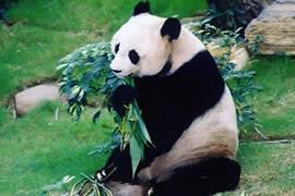 寿命最长的熊猫,37岁(相当于人类111岁)
